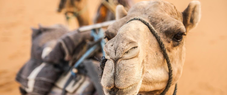 Kamel in der Wüste von Marokko