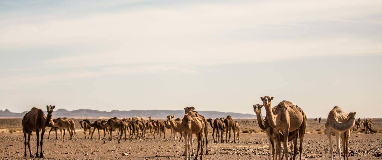 Kamelherde in der Nähe von Mhamid, Marokko