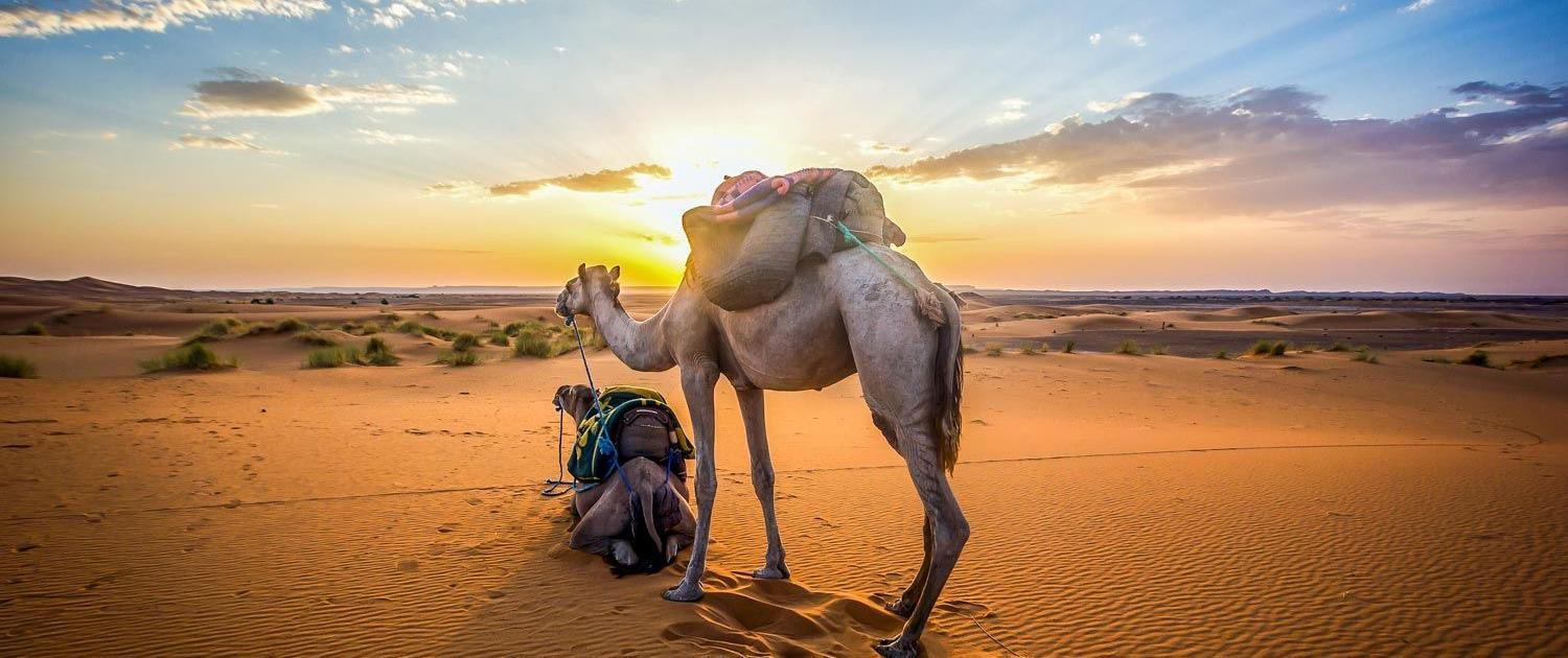 Roundtrip South Morocco and Atlantic Ocean, two camels at sunset in South Morocco with view of the desert