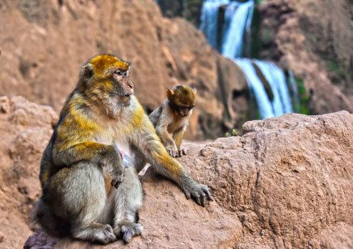 Marokko Erlebnisreisen bei Morocco Adventures, zwei Affen auf einem Felsen vor den Wasserfällen von Ouzoud