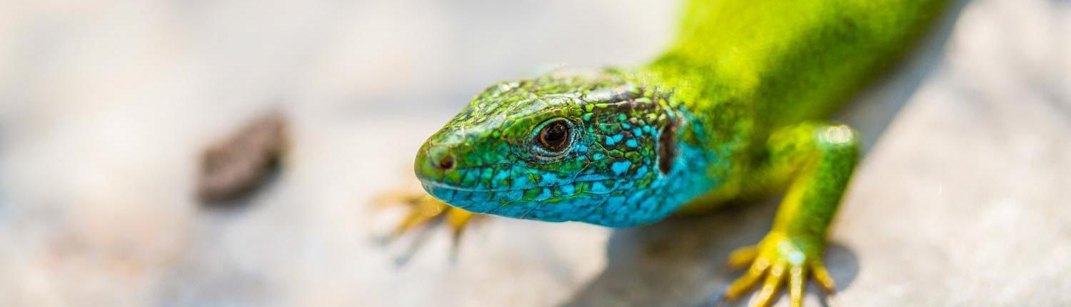 Sustainable travel in Morocco, Emerald lizard close up